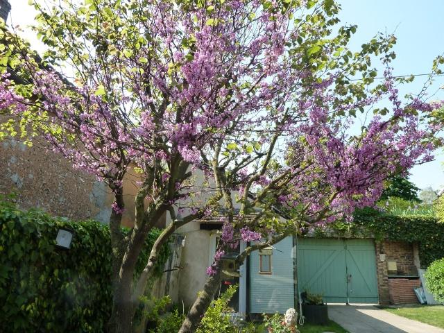 l'arbre de Judée 00414