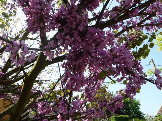 l'arbre de Judée 00512