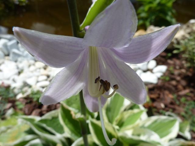 hosta Plantaginea Grandiflora - Page 2 00522