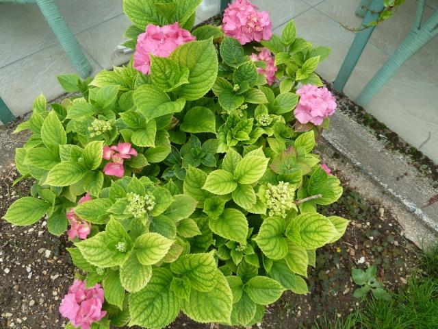 Hydrangea   Hortensia des jardins - Page 2 01014