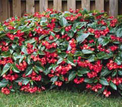 idee jardiniere Begoni11