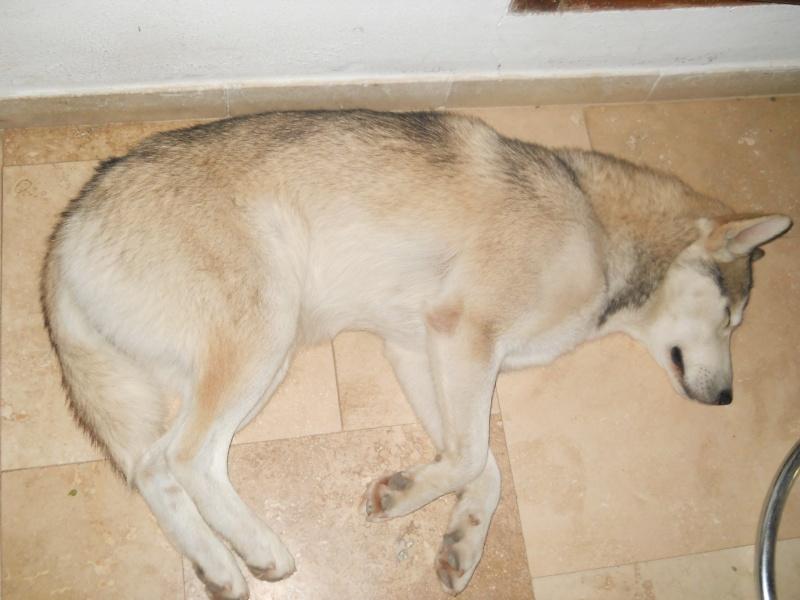 1 Cane corso + 1 Husky Dscn0613