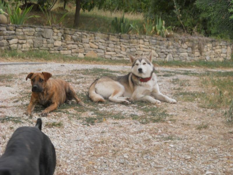 1 Cane corso + 1 Husky Dscn0722