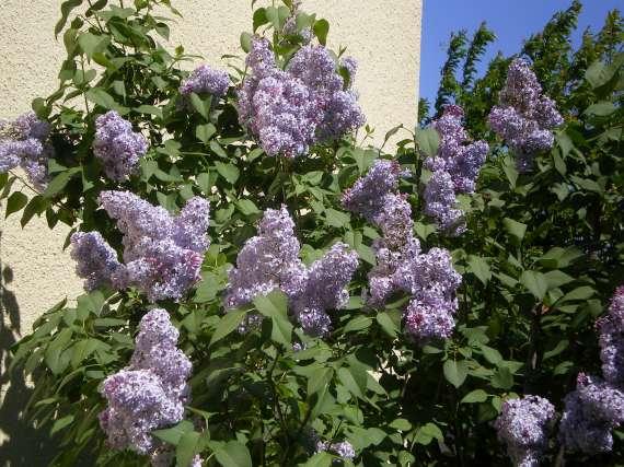 Floraisons du mois d'avril Le_10_11
