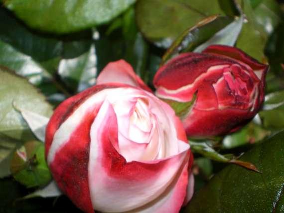 Floraisons du mois d'avril Le_10_16