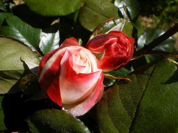 le royaume des rosiers...Vive la Rose ! Le_10_17