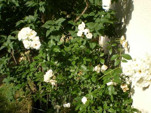 le royaume des rosiers...Vive la Rose ! Le_18_10