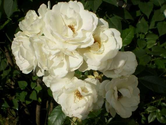 le royaume des rosiers...Vive la Rose ! Le_18_11