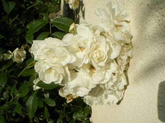 le royaume des rosiers...Vive la Rose ! Le_18_12