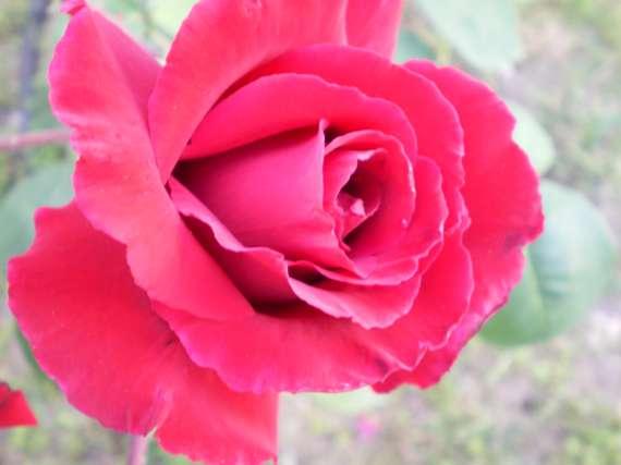 le royaume des rosiers...Vive la Rose ! Le_18_16