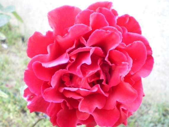 le royaume des rosiers...Vive la Rose ! Le_18_17