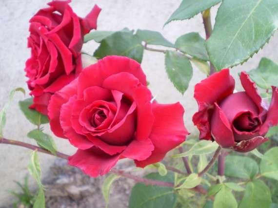 le royaume des rosiers...Vive la Rose ! Le_18_19