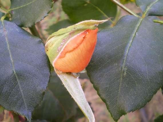le royaume des rosiers...Vive la Rose ! Le_18_20