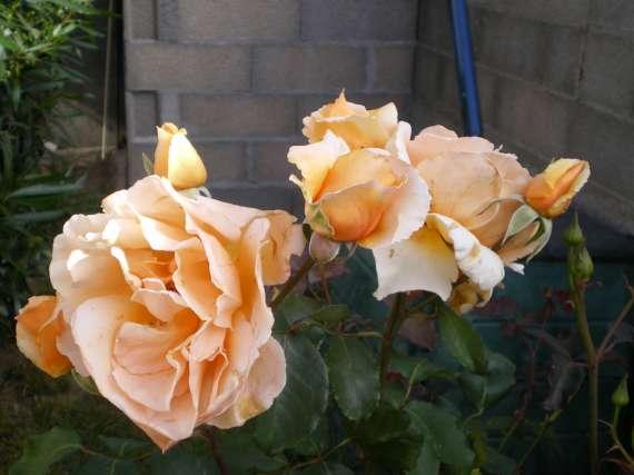 le royaume des rosiers...Vive la Rose ! Le_18_21
