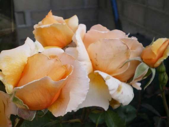 le royaume des rosiers...Vive la Rose ! Le_18_22