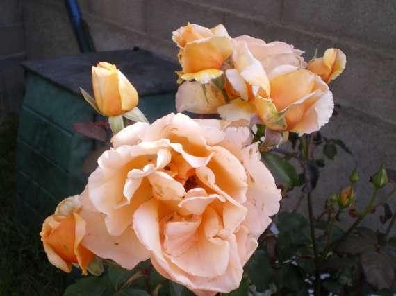 le royaume des rosiers...Vive la Rose ! Le_18_23