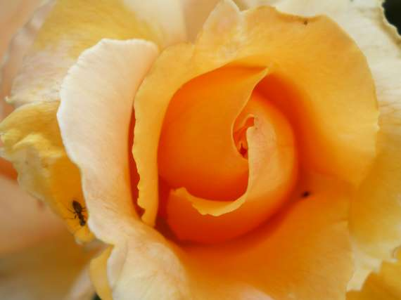 le royaume des rosiers...Vive la Rose ! Le_18_24