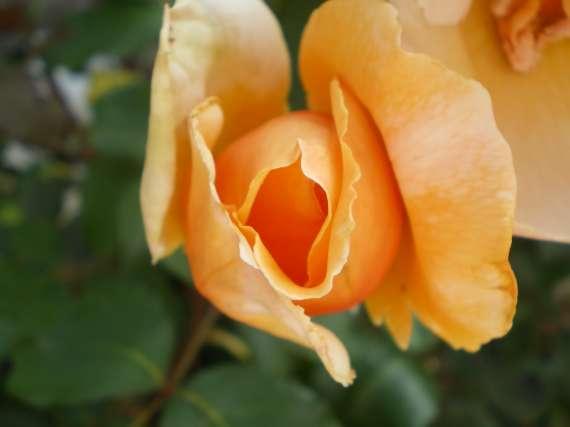 le royaume des rosiers...Vive la Rose ! Le_18_25