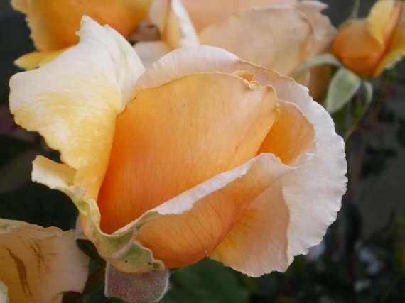le royaume des rosiers...Vive la Rose ! Le_18_26