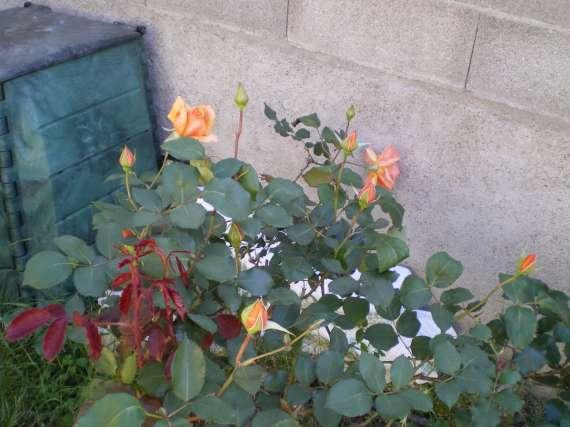 Les fleurs de mon jardin Le_19_11