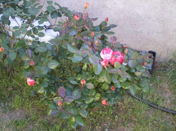 Les fleurs de mon jardin Le_19_12