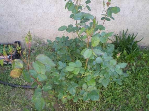 Les fleurs de mon jardin Le_19_13