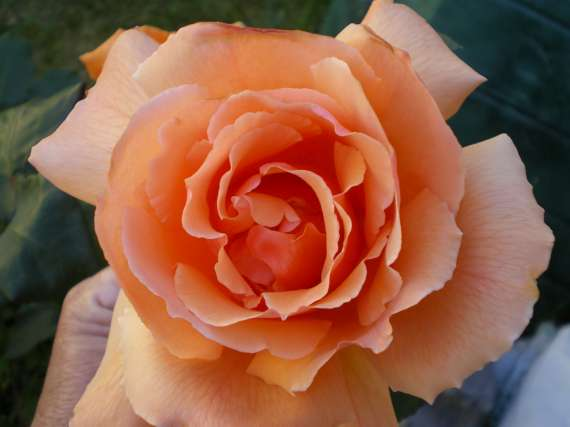 Les fleurs de mon jardin Le_19_15