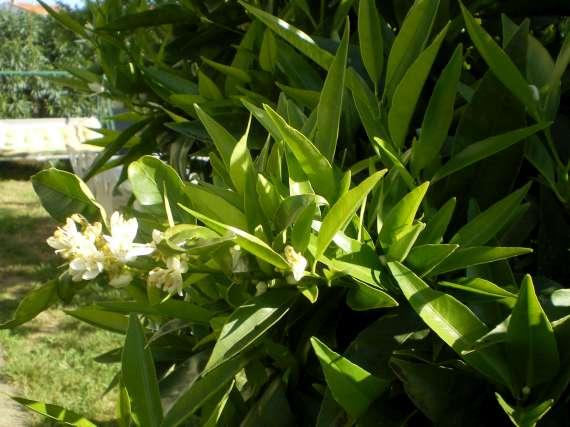 floraisons des arbres et des arbustes - Page 3 Le_19_26