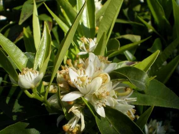 floraisons des arbres et des arbustes - Page 3 Le_19_27