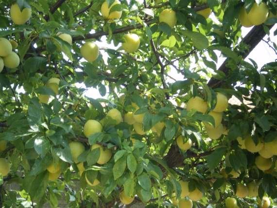 Après la floraison,les fruits !!! Le_22_27