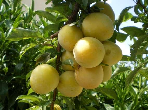 Après la floraison,les fruits !!! Le_22_28