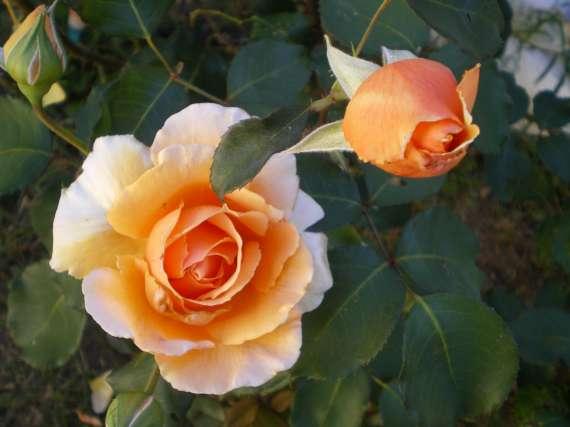 le royaume des rosiers...Vive la Rose ! - Page 2 Le_25_16