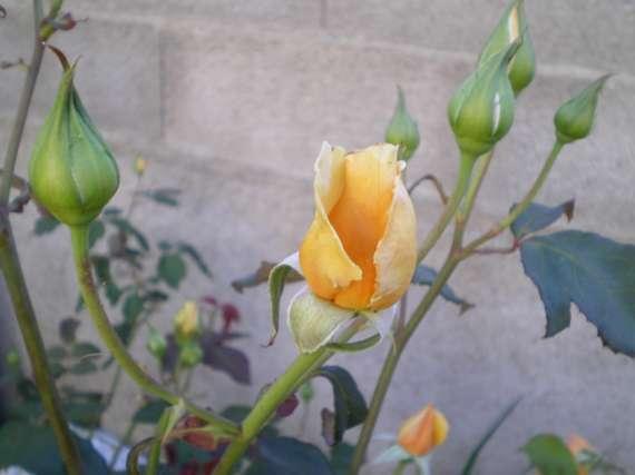 le royaume des rosiers...Vive la Rose ! - Page 2 Le_25_17