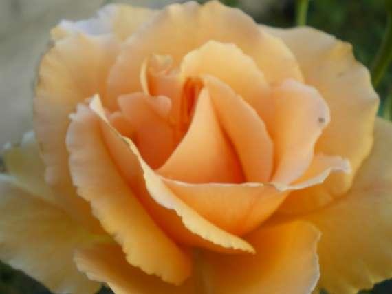 le royaume des rosiers...Vive la Rose ! - Page 2 Le_25_19