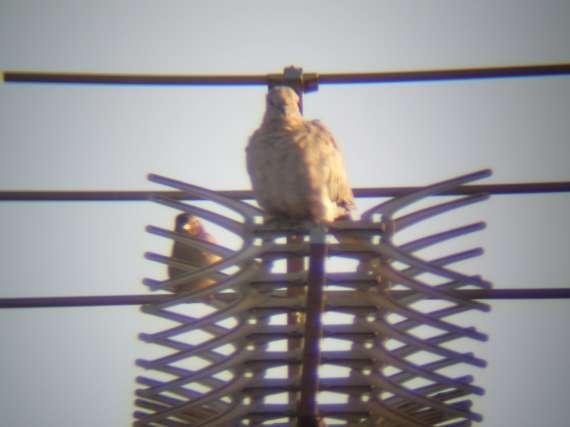 Oiseaux de printemps Tourte11