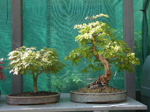 Cat Litter For Bonsai Tree Bonsai Tree