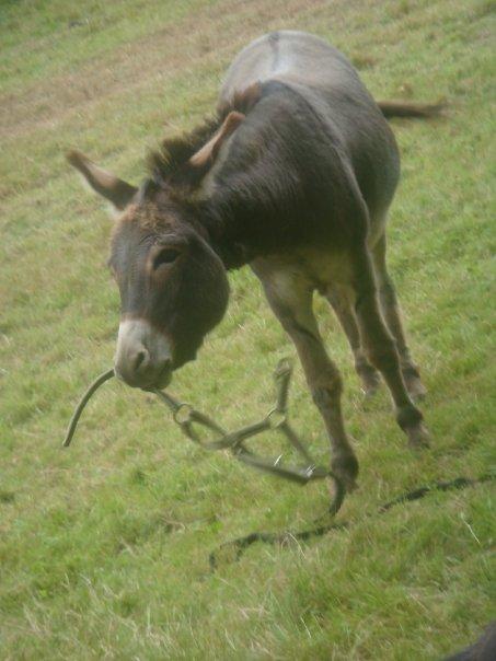 Mes ânes et mules ! N1365712