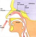le développement des 5 sens pour amplifié nos capacités Odorat10
