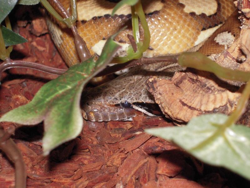Quelques clichés de mes pythons (suite) Dscn1510