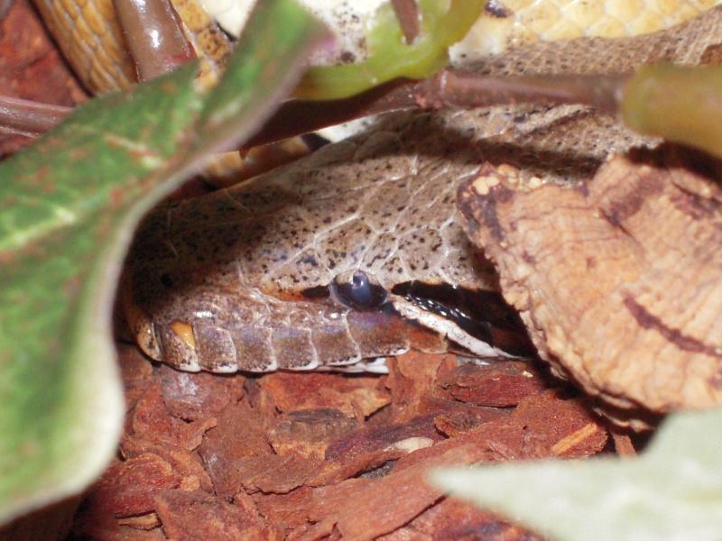 Quelques clichés de mes pythons (suite) Dscn1511
