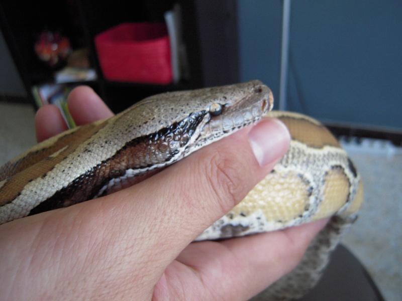 Quelques clichés de mes pythons (suite) Dscn1512