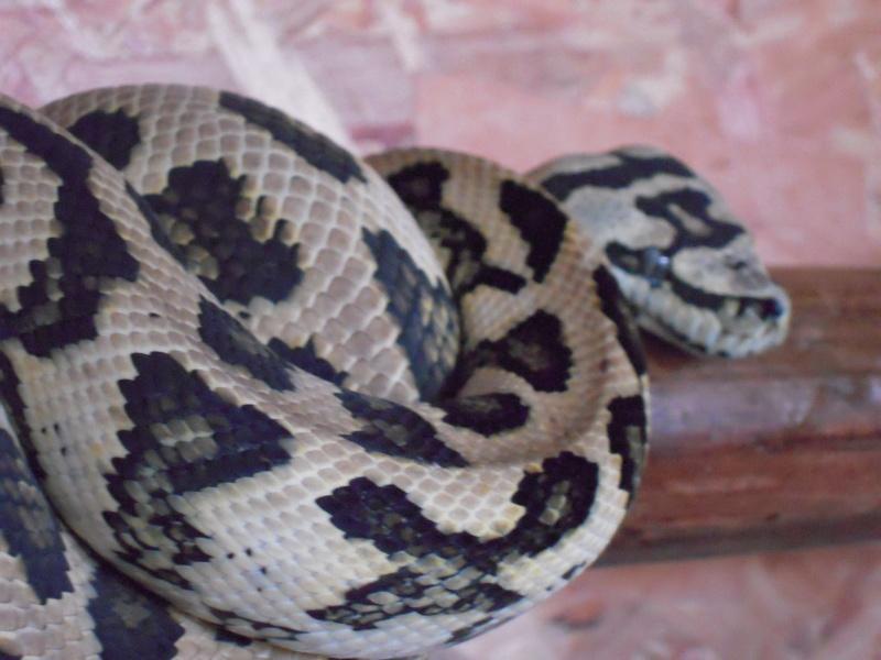 Quelques clichés de mes pythons (suite) Dscn1514