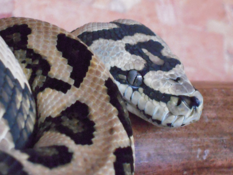 Quelques clichés de mes pythons (suite) Dscn1515