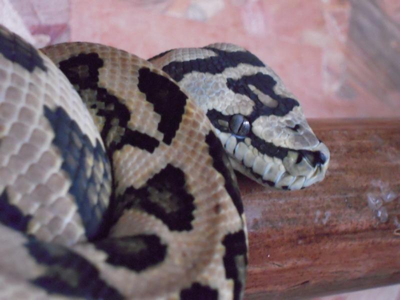 Quelques clichés de mes pythons (suite) Dscn1516