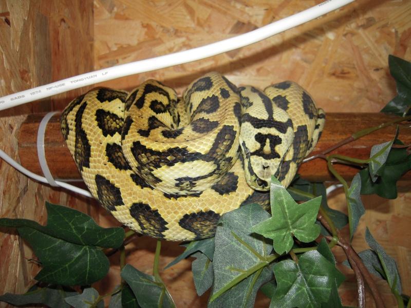 Quelques clichés de mes pythons (suite) Dscn1517