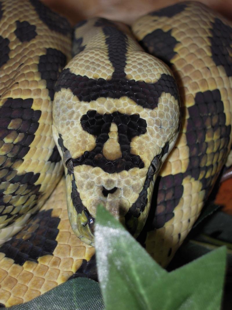 Quelques clichés de mes pythons (suite) Dscn1518