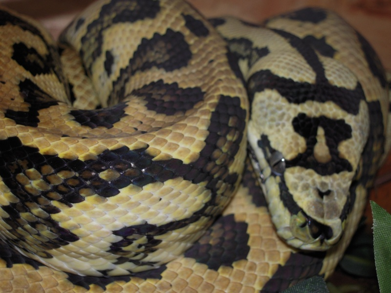 Quelques clichés de mes pythons (suite) Dscn1519