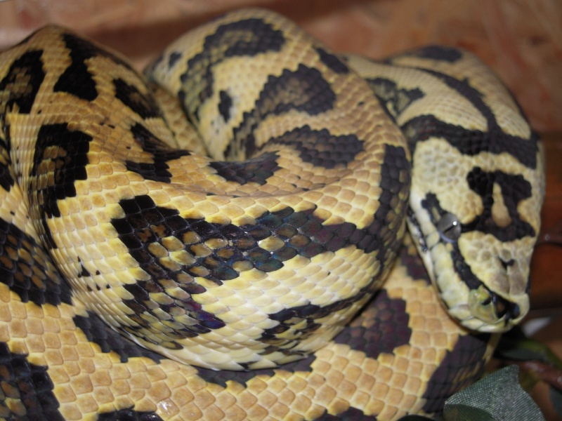 Quelques clichés de mes pythons (suite) Dscn1520