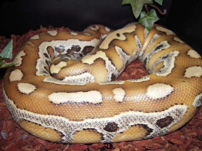 Quelques clichés de mes pythons (suite) Dscn1521