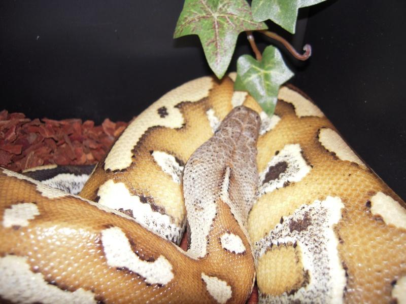 Quelques clichés de mes pythons (suite) Dscn1522